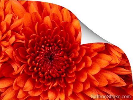 Chrysanthemum with page curl